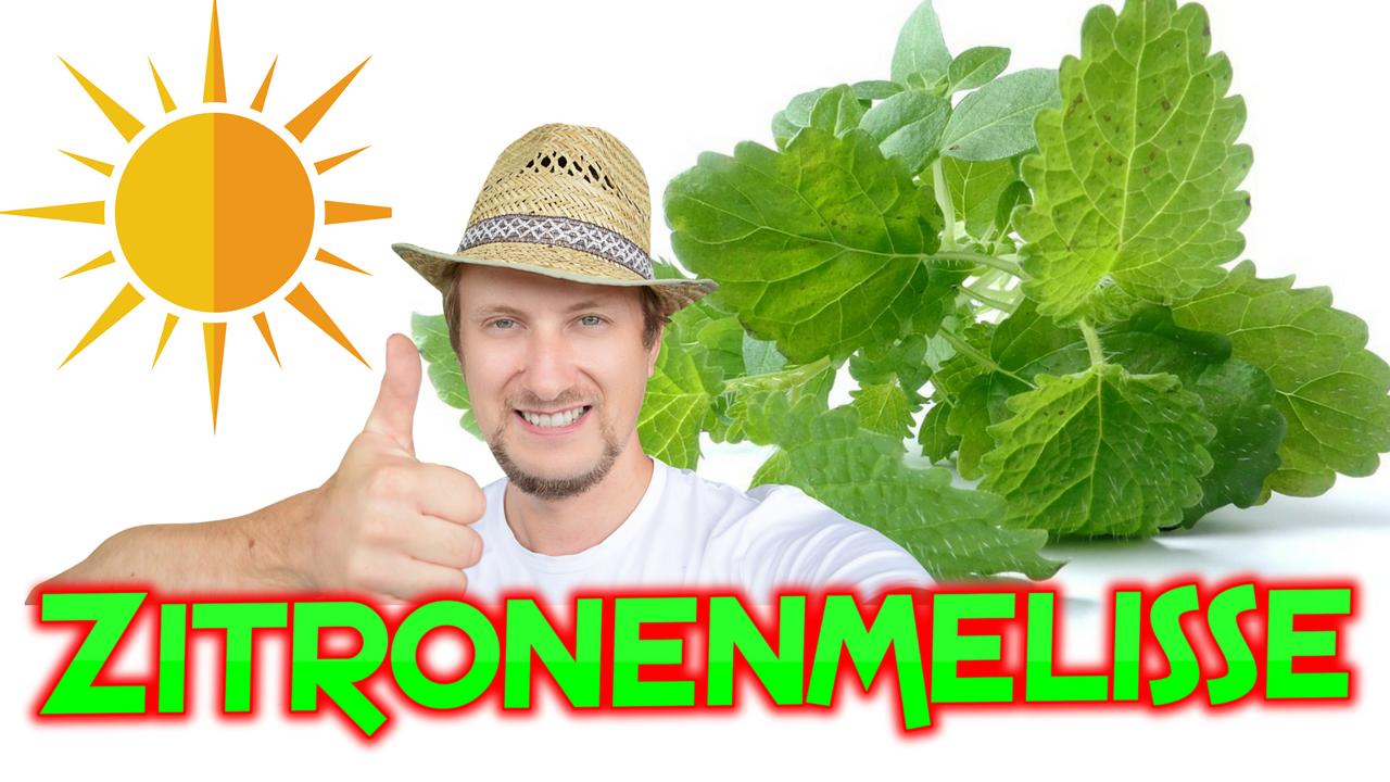Zitronenmelisse Umtopfen, Pflegen Und Pflanzen