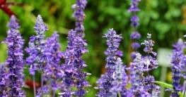 salbeiblüte im garten pflanzen und pflegen