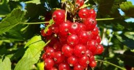 Rote Johannisbeeren auf Balkon Garten