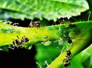 grüne Blattläuse mit Ameisen