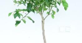 Zitronenbaum balkon garten