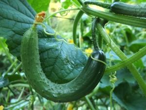 Gurken anbauen auf dem Balkon Garten