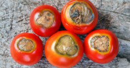 Tomaten-Blütenendfäule-Garten