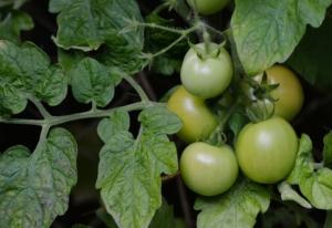 Grüne unreife Tomaten am Strauch