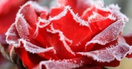 Balkon Garten winterfest machen rosen