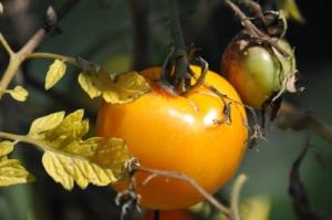 Braun und Krautfäule an Tomaten im Herbst
