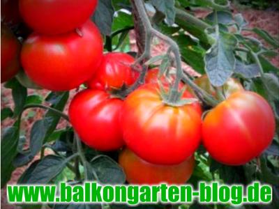 tomatenpflanzen ausgeizen bilder