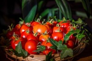 schöne Tomatenernte vom Balkon