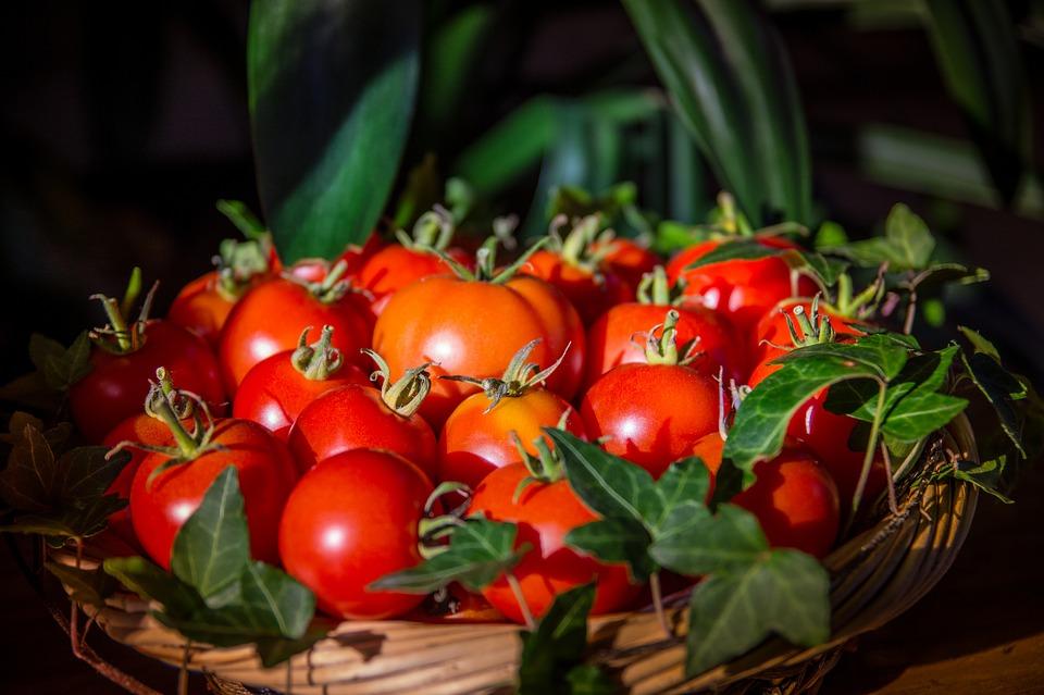 wann tomaten ernten