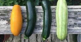 Zucchini giftig und bitter