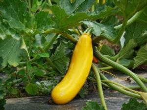 gelbe Zucchinipflanze