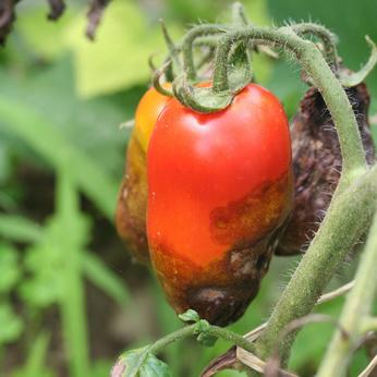 Blütenendfäule an Tomaten