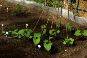 Bohnen im Gartenbeet
