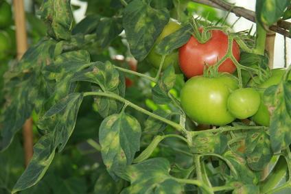Braun und Krautfäule an Tomaten Anfangsstadium