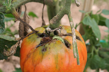 Raupenbefall bei Tomaten