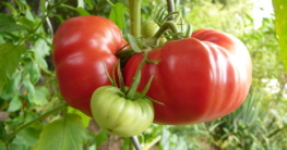 Veredelte-Tomaten-am-Strauch