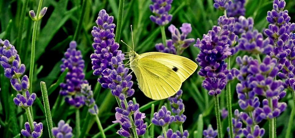 ᑕ ᑐ Lavendel Im Garten Pflege Standort Giessen Dungen