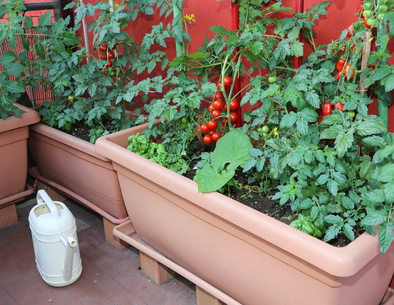 Tomaten auf dem Balkon Ideen