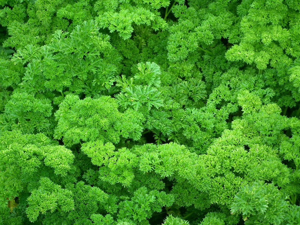 lll petersilie pflanzen pflegen bio balkongarten blog