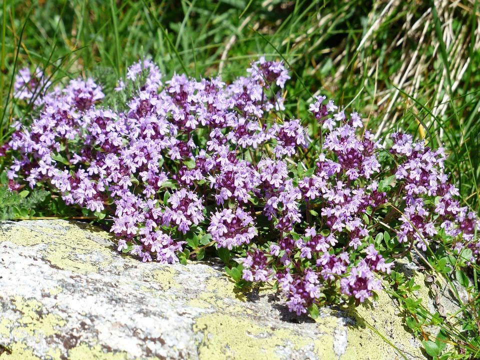 Thymian Im Garten Und Auf Dem Balkon ᐅ Bio Balkongarten Blog